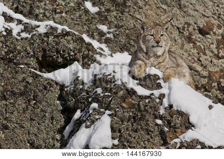 Siberian Lynx Is Standing On Rock. Portrait Of A Siberian Lynx.