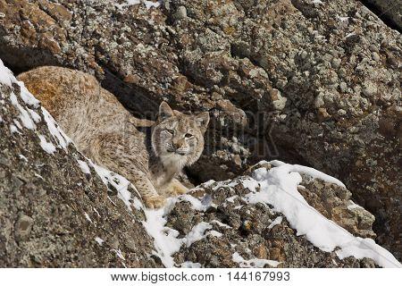 Siberian Lynx Is Standing On Rock