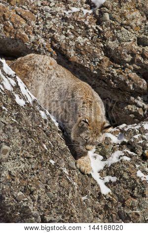 The Siberian Lynx Habitat.
