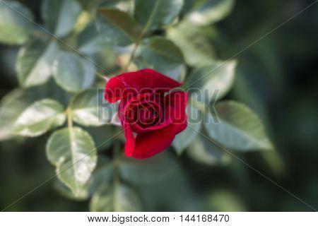 flower red rose on a dark background closeup