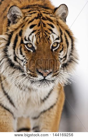 Close up frame of amur tiger face. Hearose feeling of strength. Nose and eye of  the amur tiger. Looking somewhere with carefully .