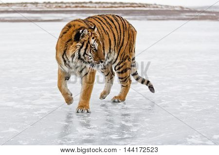 He Has A Huge Body. Amur Tiger Is Getting Ready For Hunting.