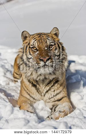 Amur Tiger Has Stripes And A Shade Of Orange In Color.
