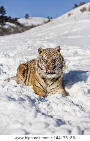 Portrait Of Amur Tiger. He Arose Feeling Power.