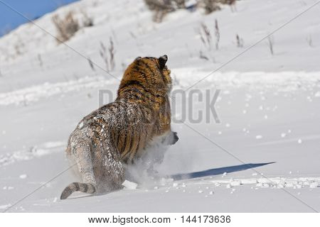 Amur Tiger Is Moving For Attacking.