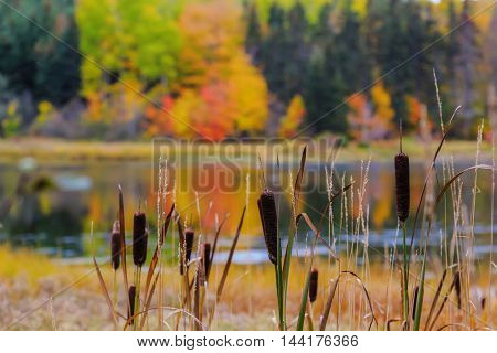 Cat tails growing along a slow moving river in rural Prince Edward Island, Canada