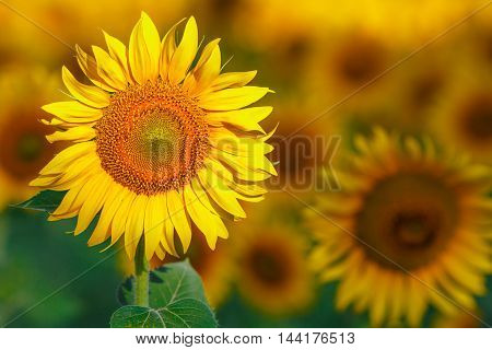 Lots Of Sun Flowers On A Sunny Day