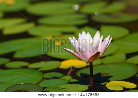 One Water lily in the pond with leaves