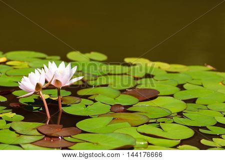 Two Water lily in the pond with leaves