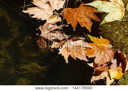 Autumn leaves lay in a rain puddle