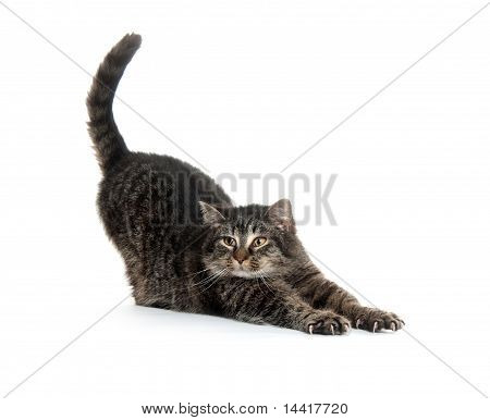 Cute Cat Stretching On White