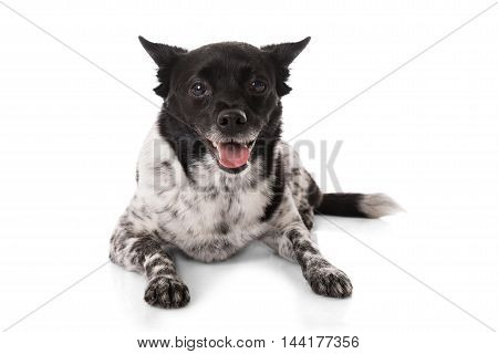 Close-up Of A Dog Lying On White Background