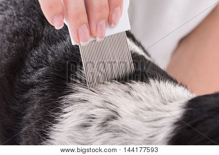 Close-up Of A Vet Examining Dog's Hair With Comb