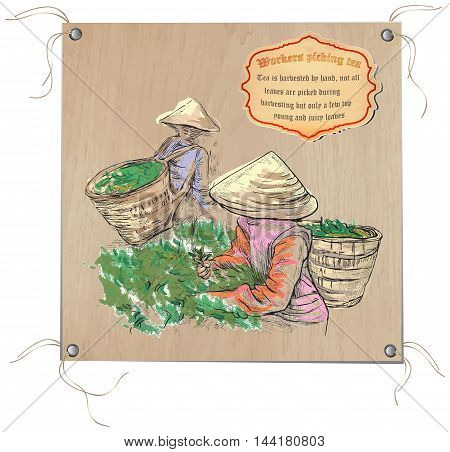 TEA. Agriculture. Life of a farmer. Tea harvesting. An hand drawing picture. Hand drawn vector illustration. Freehand sketch of an pickers in the greenfield of the tea.