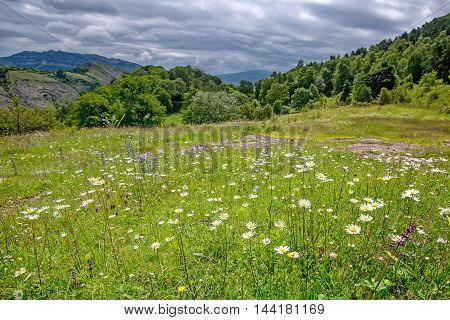 Landscape of mountain alpine meadow covered with white flowers