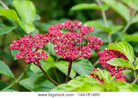 Beautiful small red flowers on shrub of Leea Rubra or Red Leea plant