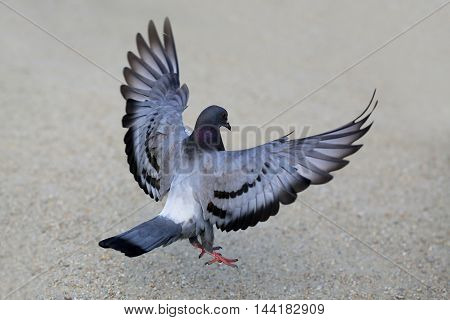 Most individuals have a very variable appearance due to mixing of different races domestic pigeons.