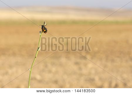 Isolated red and Black Beetle (Nicrophorus sayi) hang in a plant stalk.