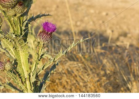 Isolated cotton thistle (Onopordum acanthium) about to bloom.