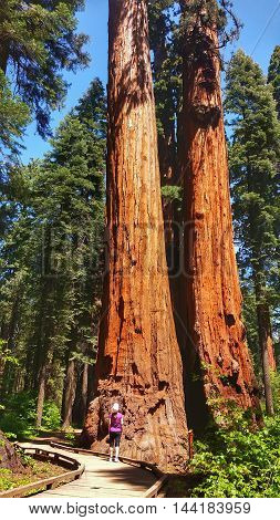 Giant sequoias in Calaveras Big Trees Park, California
