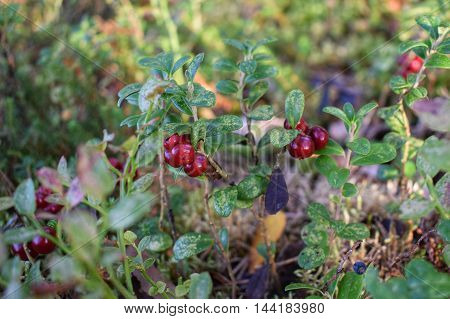 A pile of lingonberries, growing wild in the forrest.
