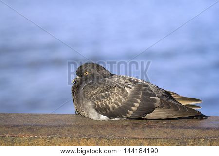 Gray pigeon resting on the fence under the sun