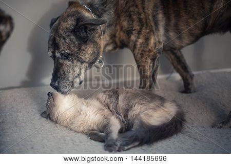 A cute white cat and a dog cuddle