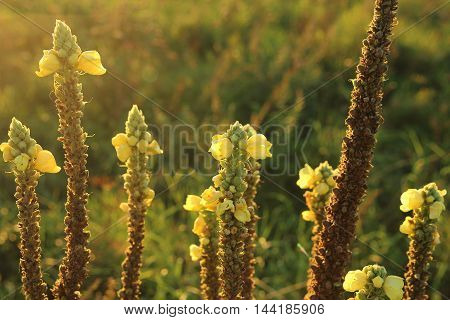 yellow flowers at sunset on the gulf