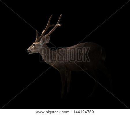 Hog Deer In The Dark