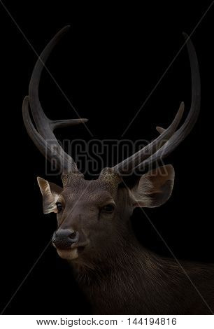 Sambar Deer In The Dark