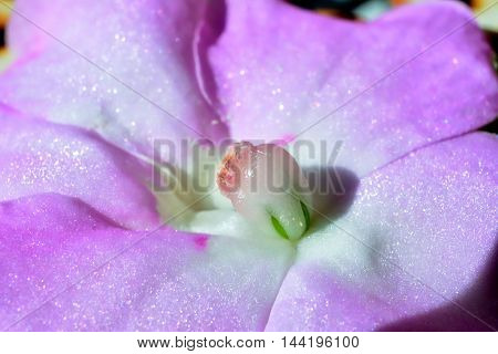 A close up of a pink impatiens walleriana