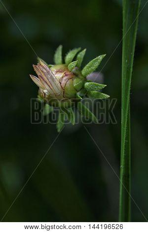 an osteospermum bud on a dark background