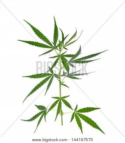 Marijuana plant isolated on white background hemp