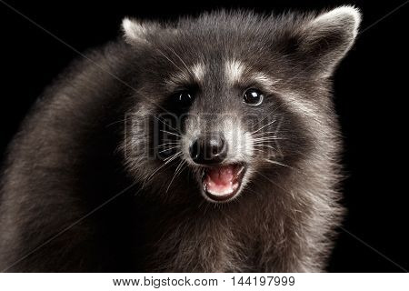 Closeup Portrait of Funny Baby Raccoon Curious Looks and opened mouth isolated on Black Background, Front view