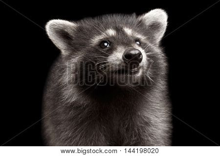 Closeup Portrait of Cute Baby Raccoon Looking up isolated on Black Background, Front view