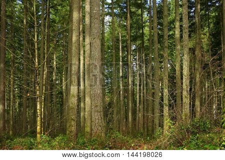 a picture of an exterior Pacific Northwest forest of Douglas fir trees in summer