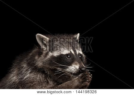 Closeup Portrait of Funny Raccoon Looks like he pray isolated on Black Background, Raising up paws