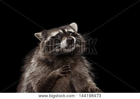 Closeup Portrait of Funny Raccoon Looks Curious Face isolated on Black Background, Raising up paws