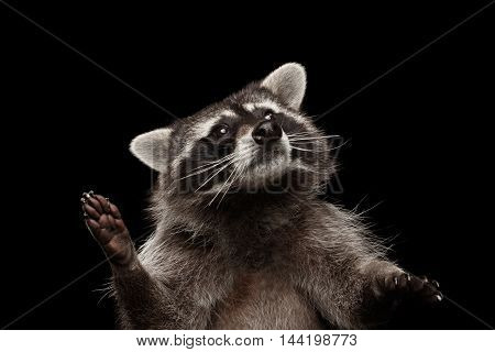 Closeup Portrait of Funny Raccoon Looking with Curious Face isolated on Black Background, Raising up paws