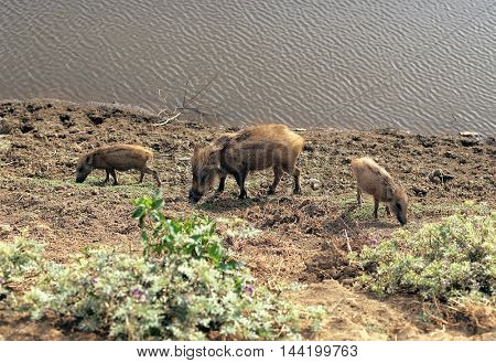 Wild boar family on the river