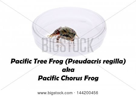 A Pacific Tree frog Pseudacris Regilla. isolated on white with room for text