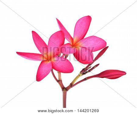 red plumeria on white background flower pink