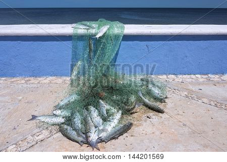 Fisherman's net full of fresh caught mullet fish lies on Gulf of Mexico seaboard in Campeche Mexico