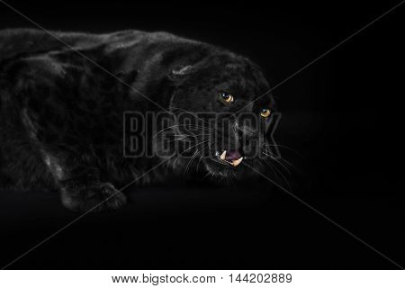 Black Leopard Portrait