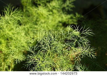 a very green dill in the garden