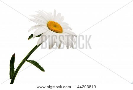 daisy spring flower on a white background