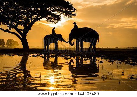 Elephants on working in early morning in rural province of Thailand