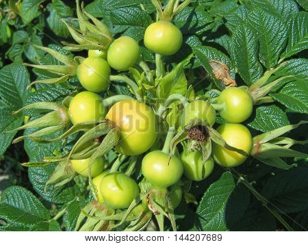 Several beautiful plant/fruit in a public garden