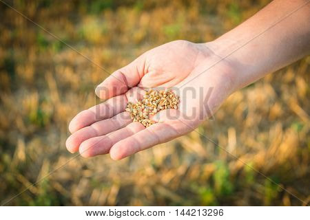Close up of a man's hand full of wheat grains. Reaped wheat field in the background.