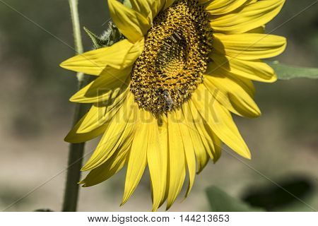 sunflowers field details sunny day macro closeup